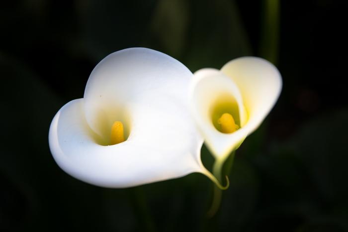 Herzblüte